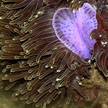 magnificent anemone