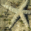 common sea star (not so common anymore)