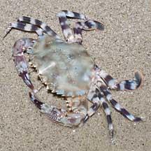 Gems Under the Sea 58295 Swimming crab Charybdis bimaculata 45.8 mm  Crab Taxidermy Oddities Curiosities