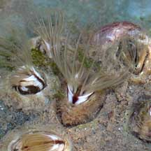 how to tell barnacles limpets and oysters apart on the shores of