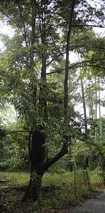 Durian trees (Durio zibethinus) of Singapore