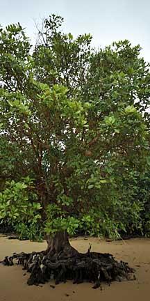 Xylocarpus moluccensis descriptive essay