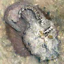 Fishes Hollow-cheek stonefish Synanceia horrida Fish Taxidermy Curios Oddities