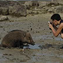 Wild boar (Sus scrofa) at the Shores of Singapore