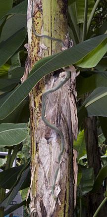 Paradise Tree Snake Chrysopelea Paradisi On The Shores Of Singapore