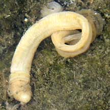 Acorn Worms Enteropneusta On The Shores Of Singapore